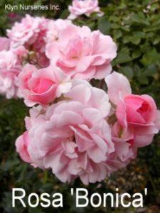 rosa_bonica
