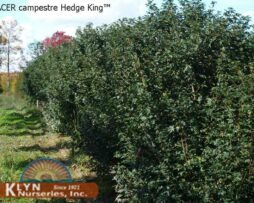 ACER C HEDGE KING