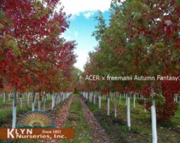 ACER x freemanii Autumn Fantasy® This fast growing tree has exceptional bright red fall leaf color and rapid growth rate. The leaves are quite large and more closely resemble those of Acer saccharinum than Acer rubrum. Excellent urban tree adaptable to a wide range of sites. Selected from native species.