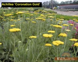 Achillea Coronation Gold 2