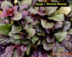 Ajuga r Bronze Beauty 2