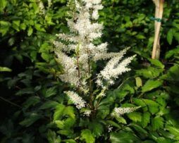ASTILBE 'Rock & Roll' P.P. 14855