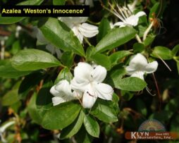 AZALEA 'Weston's Innocence'