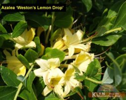 AZALEA 'Weston's Lemon Drop'