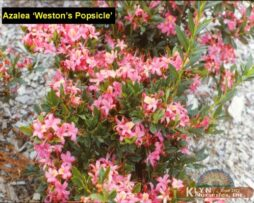 AZALEA 'Weston's Popsicle'