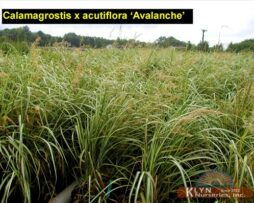 Calamagrostis x a Avalanche