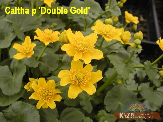 Caltha palustris 'Double Gold'