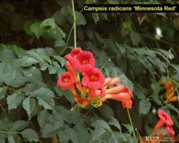 Campsis r Minnesota Red 3
