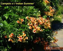 Campsis x t Indian Summer