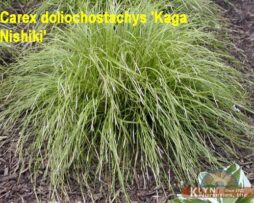 CAREX dolichostachys 'Kaga Nishiki' - Gold Fountains Sedge