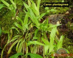 Carex plantaginea 2