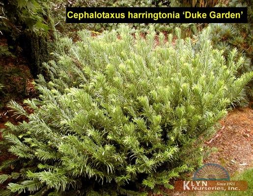 Cephalotaxus harringtonia 39 duke garden 39 klyn nurseries inc for Cephalotaxus harringtonia duke gardens