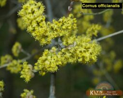 CORNUS officianalis - Japanese Cornel Dogwood