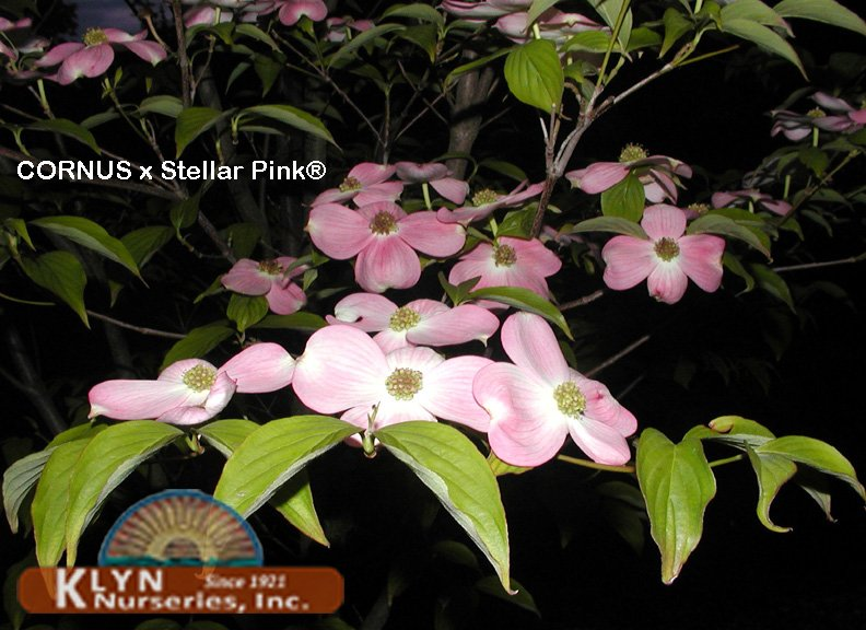 Cornus X Stellar Pink Klyn Nurseries Inc