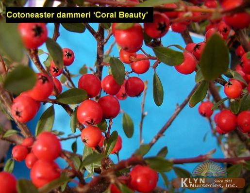 cotoneaster dammeri 39 coral beauty 39 klyn nurseries inc. Black Bedroom Furniture Sets. Home Design Ideas