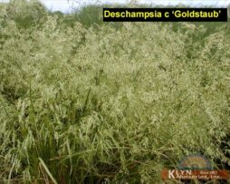 Deschampsia c Goldstaub