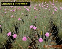 Dianthus g Fire Witch 2