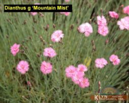 Dianthus g Mountain Mist