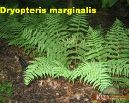 DRYOPTERIS marginalis - Marginal Shield Fern