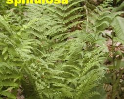 DRYOPTERIS spinulosa - Toothed Wood Fern