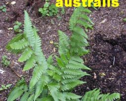 DRYOPTERIS x australis - Dixie Wood Fern