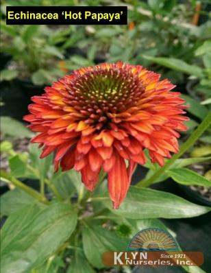 echinacea 39 hot papaya 39 klyn nurseries inc. Black Bedroom Furniture Sets. Home Design Ideas