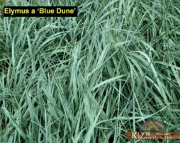 Elymus a Blue Dune