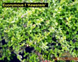 Euonymus f Kewensis