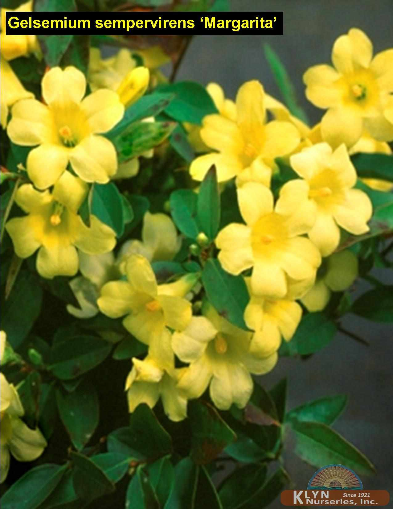 Gelsemium Sempervirens Margarita Klyn Nurseries Inc