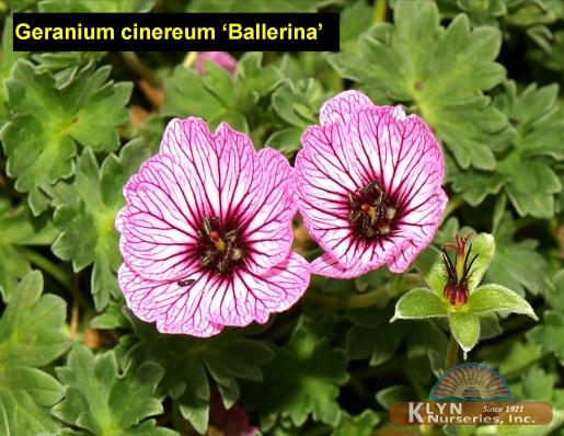 geranium cinereum 39 ballerina 39 klyn nurseries inc. Black Bedroom Furniture Sets. Home Design Ideas