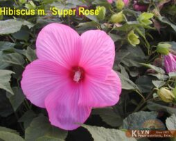 HIBISCUS moscheutos 'Super Rose'