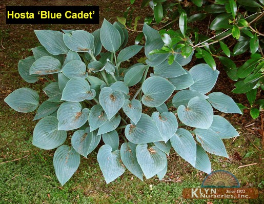 Hosta Blue Cadet Garden Design Ideas