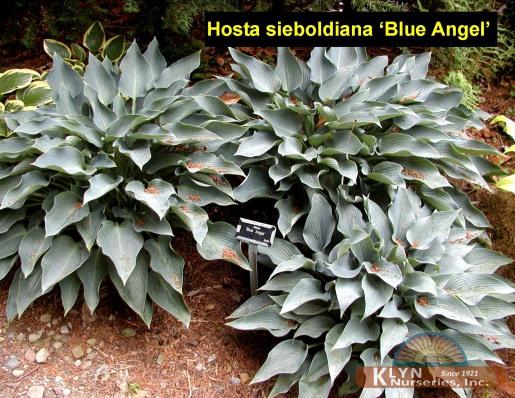 hosta sieboldiana 39 blue angel 39 klyn nurseries inc. Black Bedroom Furniture Sets. Home Design Ideas