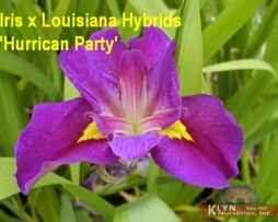Iris x Louisiana Hybrid 'Hurricane Party'