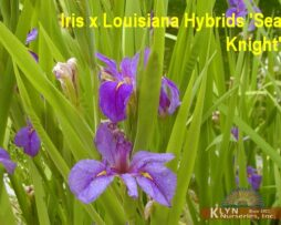 IRIS Louisiana hybrid 'Sea Knight""