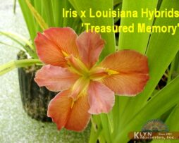 Iris x Louisiana Hybrids 'Treasured Memory'