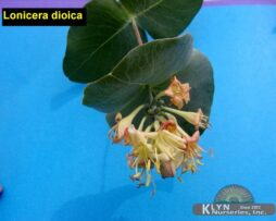 Lonicera dioica 2