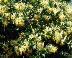 Lonicera p Graham Thomas 2
