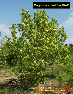 Magnolia X Yellow Bird Klyn Nurseries Inc