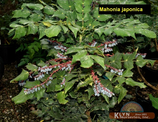 Mahonia japonica klyn nurseries inc for Mahonia japonica