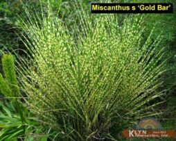Miscanthus s Gold bar