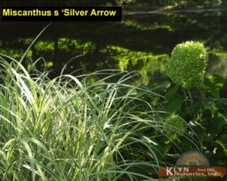 Miscanthus s Silver Arrow