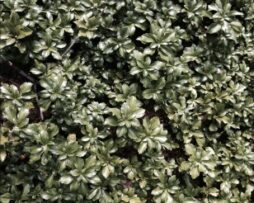 Pachysandra t Green Sheen