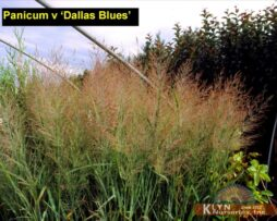 Panicum v Dallas Blues 2