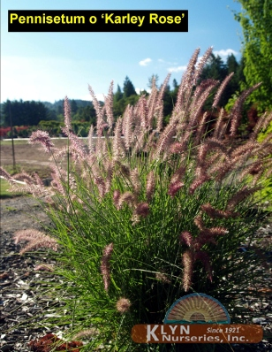pennisetum orientale 39 karley rose 39 klyn nurseries inc. Black Bedroom Furniture Sets. Home Design Ideas