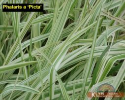 Phalaris a Picta 4