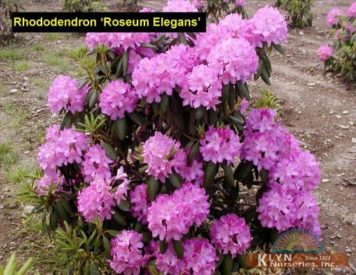 rhododendron 39 roseum elegans 39 klyn nurseries inc. Black Bedroom Furniture Sets. Home Design Ideas