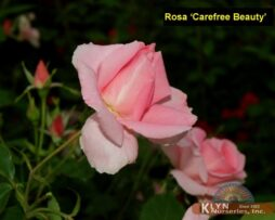 Rosa Carefree Beauty 3