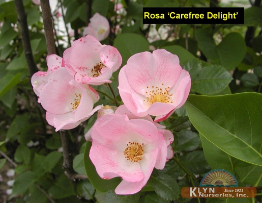 Rosa Carefree Delight 3