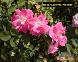 Rosa Carefree Wonder 2